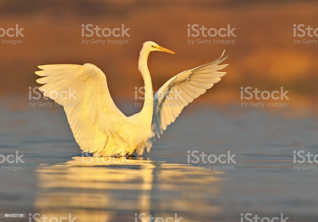 Great white heron close up in red morning light. royalty-free stock photo