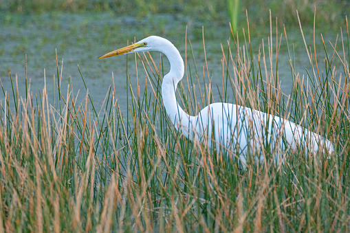 A great egret (great white heron) foraging in a pond.