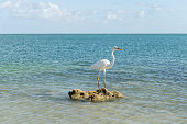 View of a Great White Heron (Ardea herodias occidentalis) in the waters of the Florida Keys