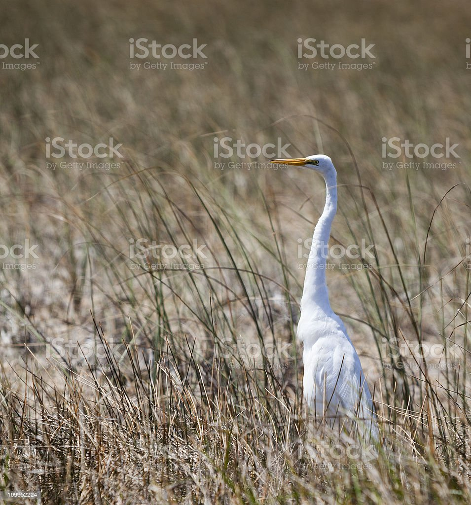 Great white heron royalty-free stock photo