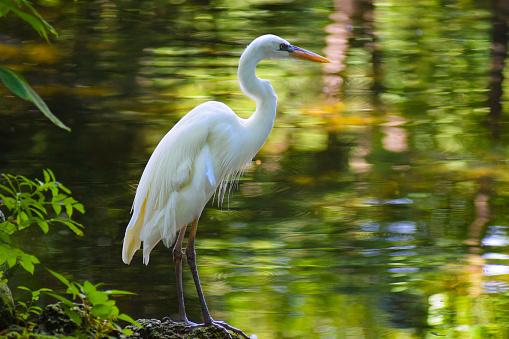 A great white heron at Homosassa Springs, Florida.