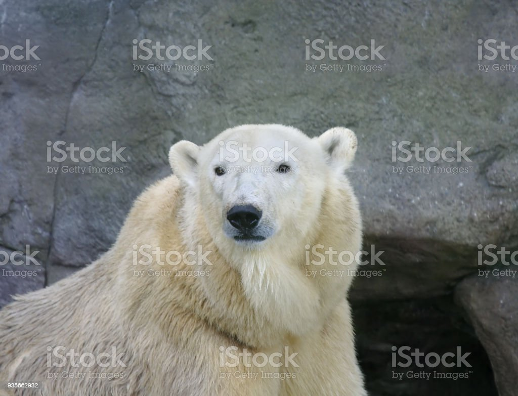 Great white north bear. stock photo