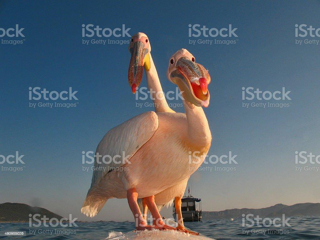 Great white pelican couple stock photo