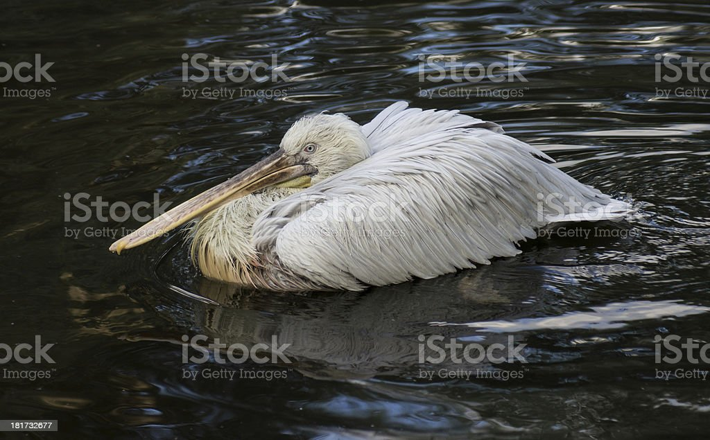 Great white pelican floating on the dark water royalty-free stock photo