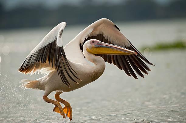 большая белая пеликан летать на озеро naivasha - пеликан стоковые фото и изображения