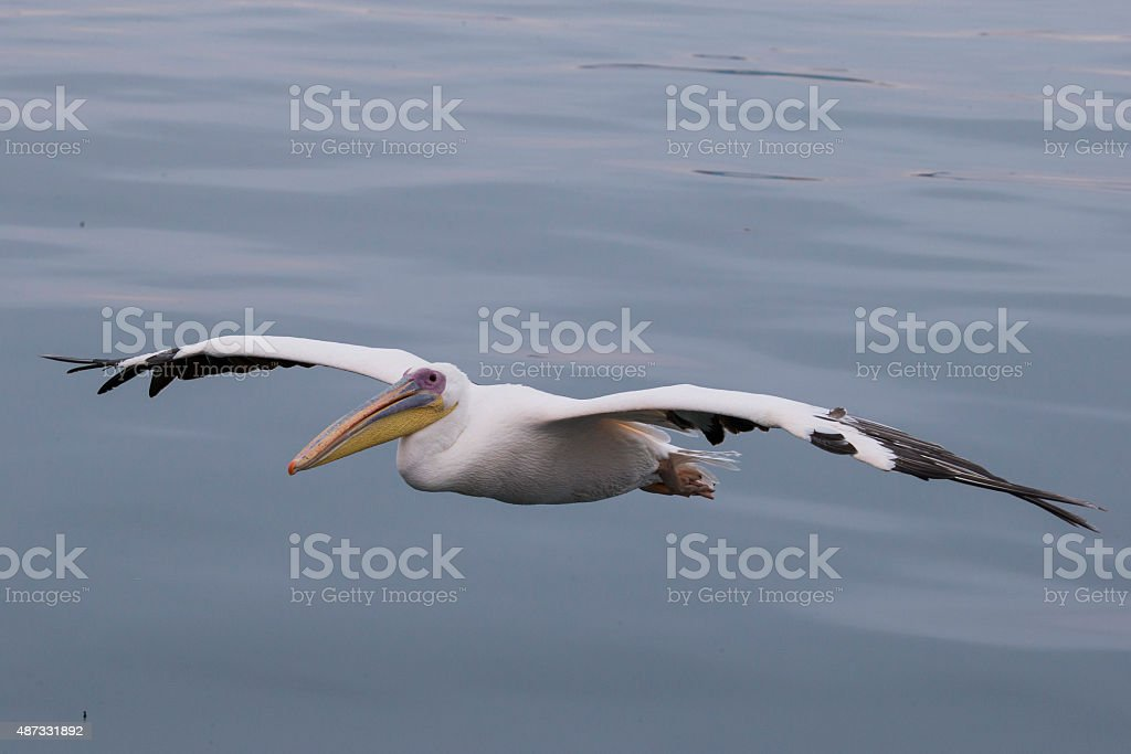 Great White Pelican flying stock photo
