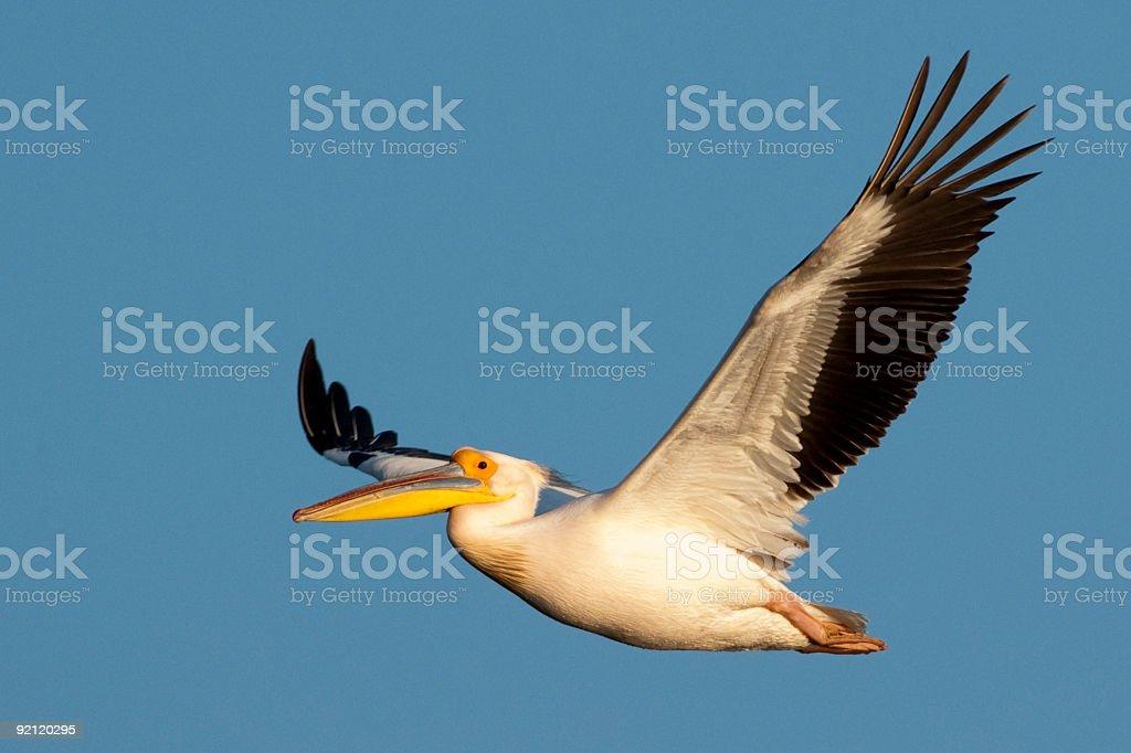Great white pelican in flight stock photo