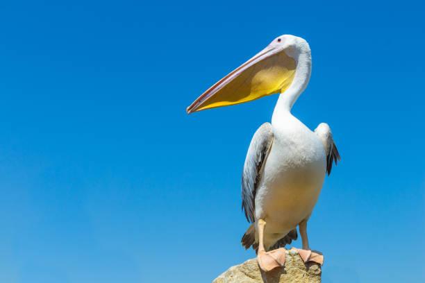 great white pelican on the field against the blue sky. - пеликан стоковые фото и изображения