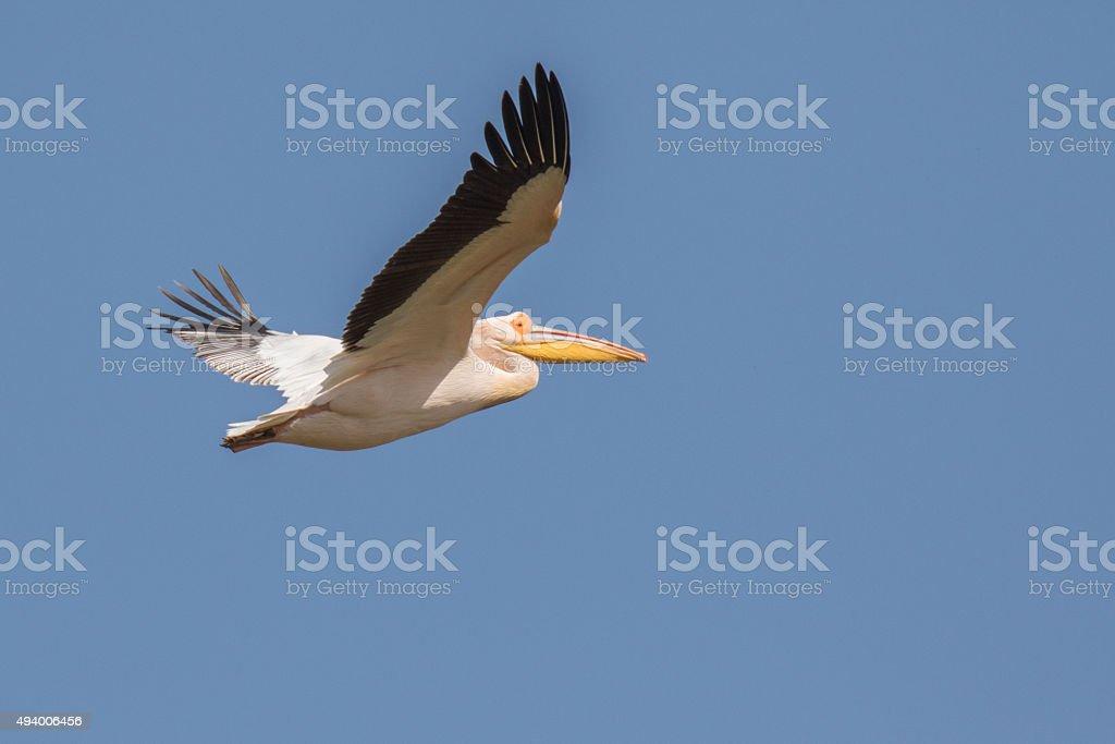 Great white pelican over Kerkini lake Greece stock photo