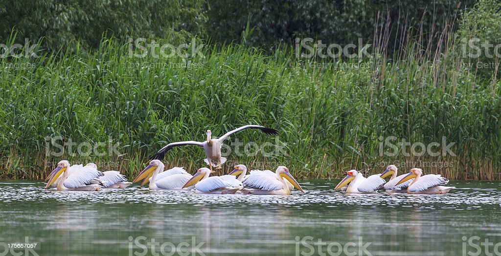 Great white pelican royalty-free stock photo