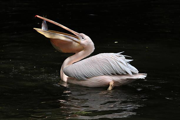 большая белая пеликан (pelecanus onocrotalus) - пеликан стоковые фото и изображения