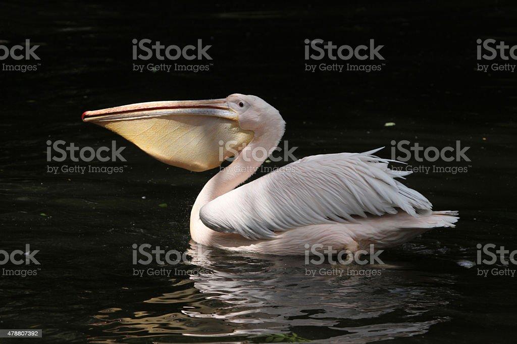 Great white pelican (Pelecanus onocrotalus) stock photo