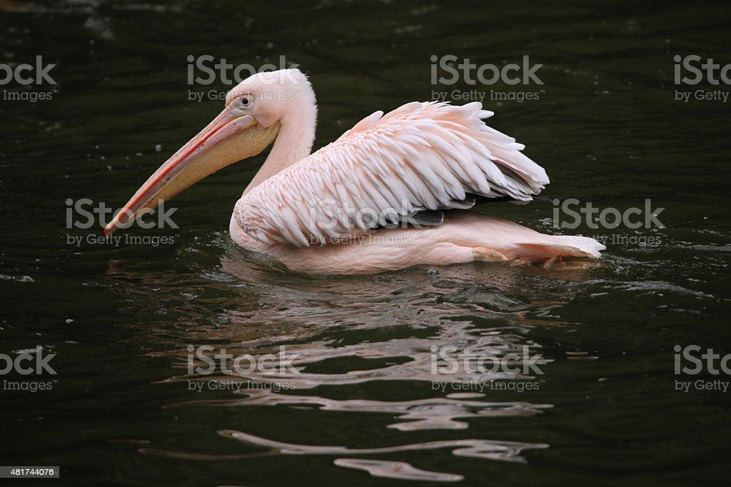 Great white pelican (Pelecanus onocrotalus). stock photo