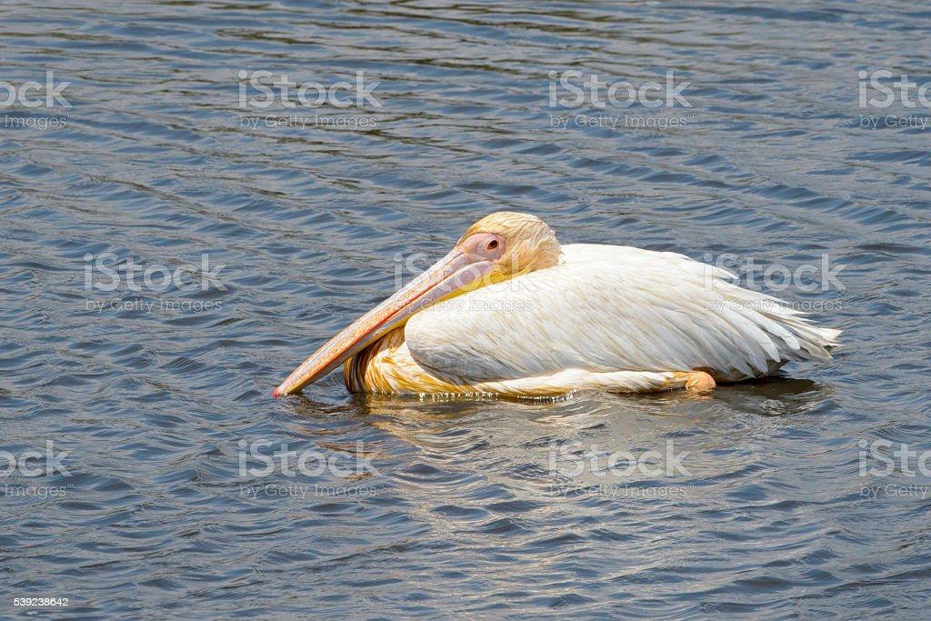 Pelícano blanco (Pelecanus onocrotalus)  foto de stock libre de derechos