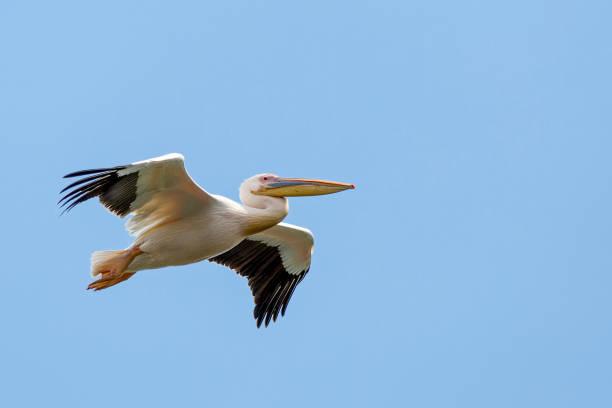 great white pelican - пеликан стоковые фото и изображения