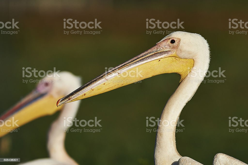 Great white pelican portrait stock photo