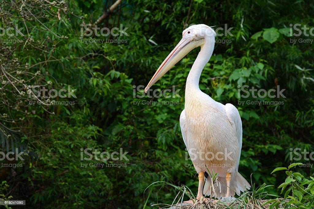 Great white pelican, scientific name Pelecanus onocrotalus stock photo