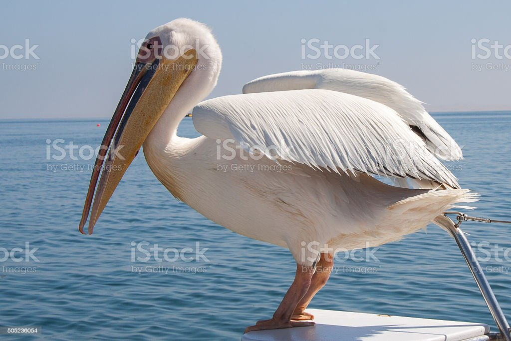 Great White Pelican Sitting on Boat, Walvis Bay in Namibia stock photo