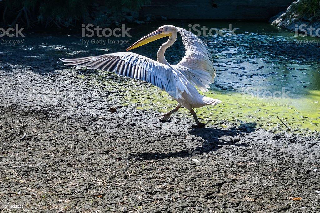 great white pelican spreading wings - Pelecanus onocrotalus stock photo