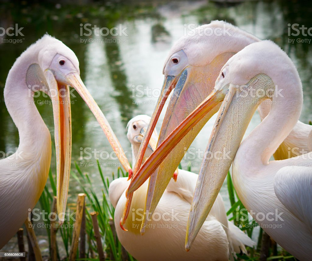 Great White Pelicans bickering and fighting.