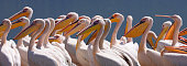 A flock of Great White Pelicans (Pelicanus erythrorhynchos) on the shores of the Lake Nakuru National Park in Kenya.