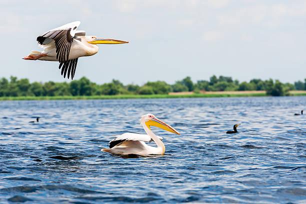 большая белая pelicans - пеликан стоковые фото и изображения