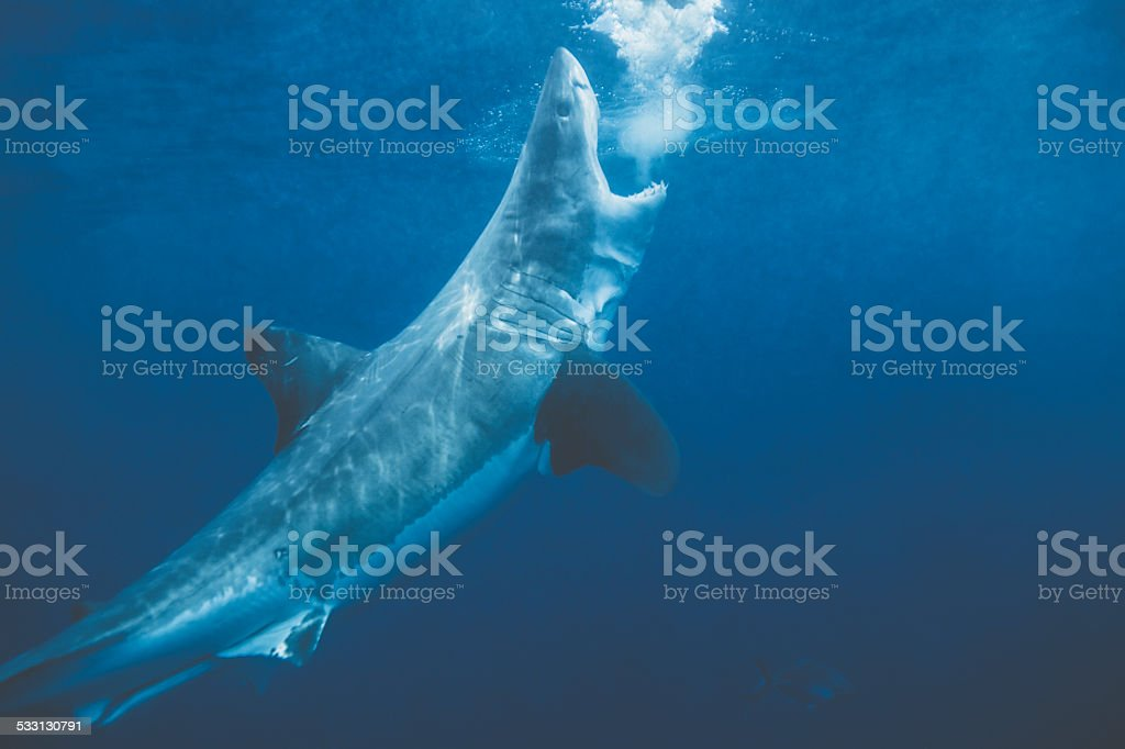 Great white shark about to breach stock photo