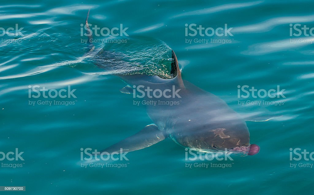 Great white shark and pink jellyfish stock photo