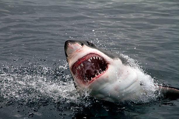 great white shark attacking - dents des animaux photos et images de collection