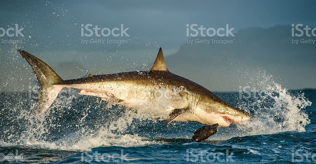 Great White Shark breaching in an attack stock photo