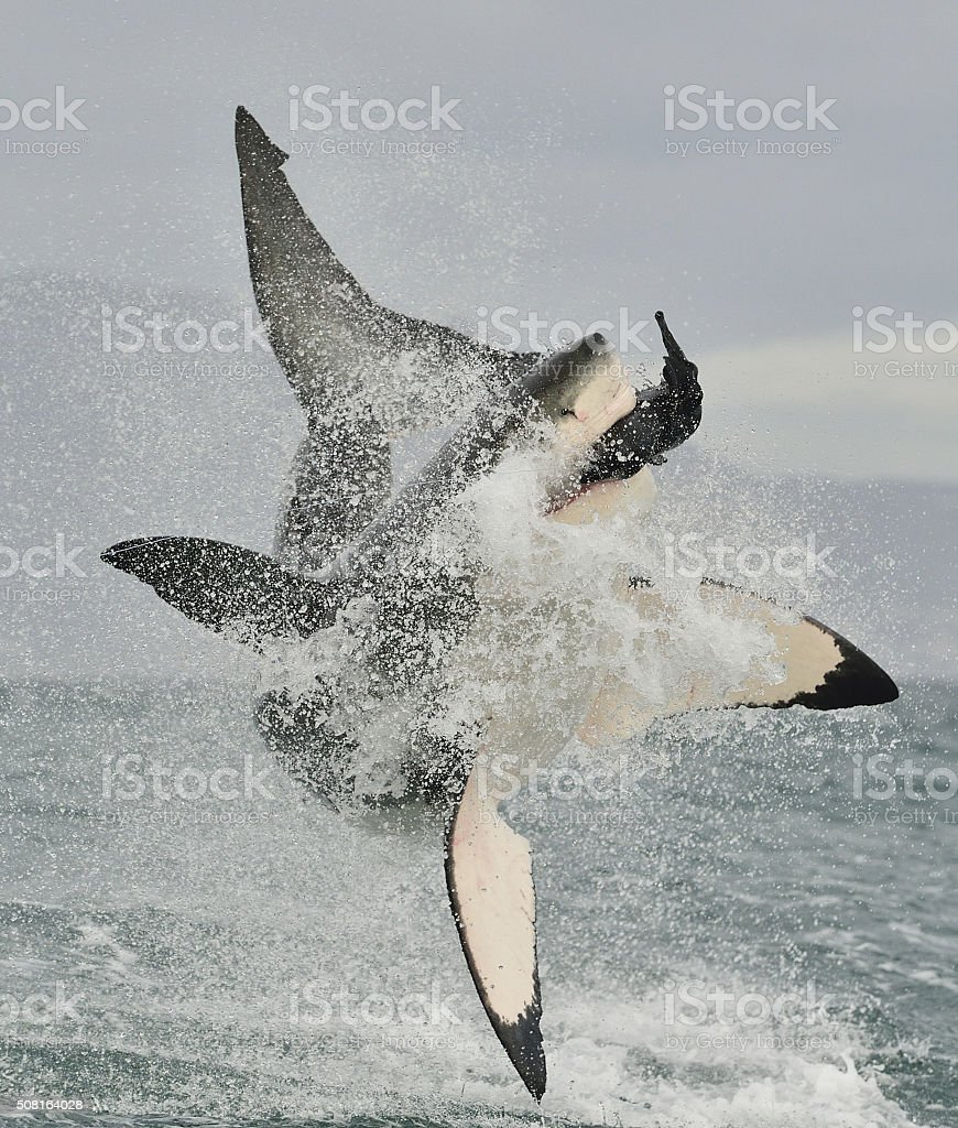 Great White Shark breaching in an attack. stock photo