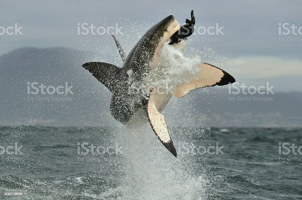 Great White Shark (Carcharodon carcharias) breaching in an attack. stock photo