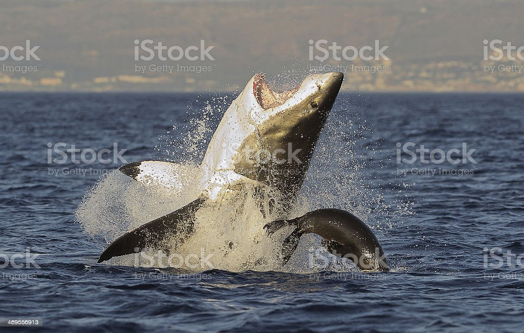 Great White Shark  breaching stock photo