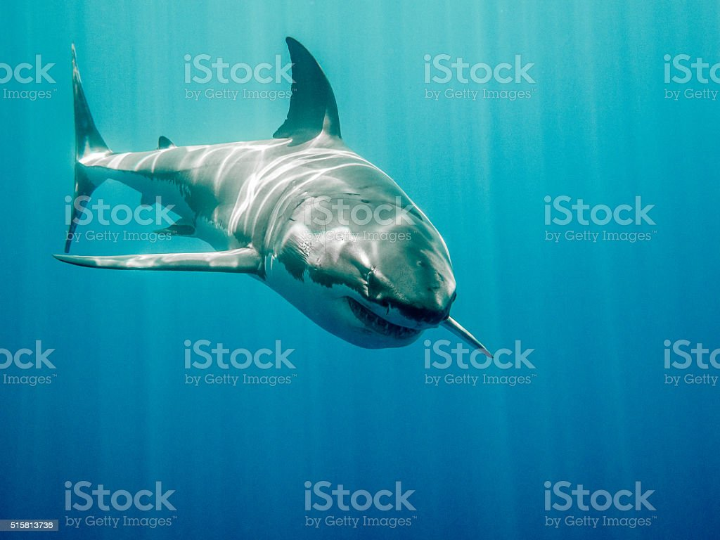 Great white shark Bruce from Finding Nemo stock photo