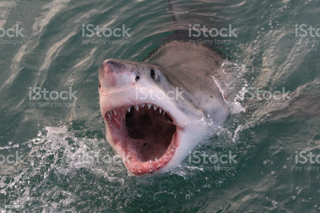grand requin blanc, Carcharodon carcharias, Gansbaai, Afrique du Sud, l'océan Atlantique - Photo