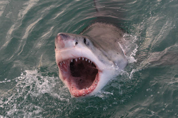 great white shark, Carcharodon carcharias, Gansbaai, South Africa, Atlantic Ocean great white shark, Carcharodon carcharias, Gansbaai, South Africa, Atlantic Ocean mouth open stock pictures, royalty-free photos & images