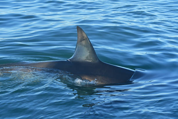 Great White shark dorsal fin and back. A Great White shark slides through the water at Seal Island, South Africa dorsal fin stock pictures, royalty-free photos & images