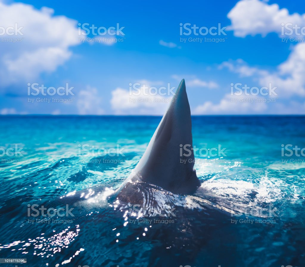 Great white shark fin above the surface stock photo