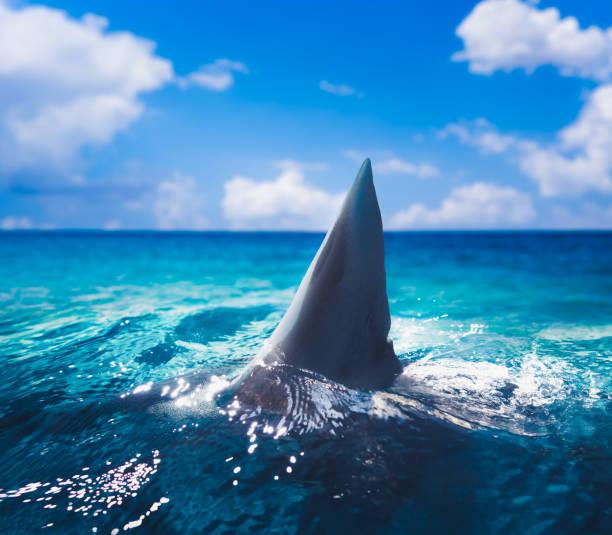 great white shark fin above the surface - squalo foto e immagini stock
