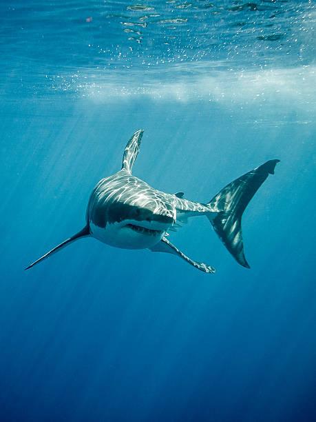 grande squalo bianco fings e denti - squalo foto e immagini stock