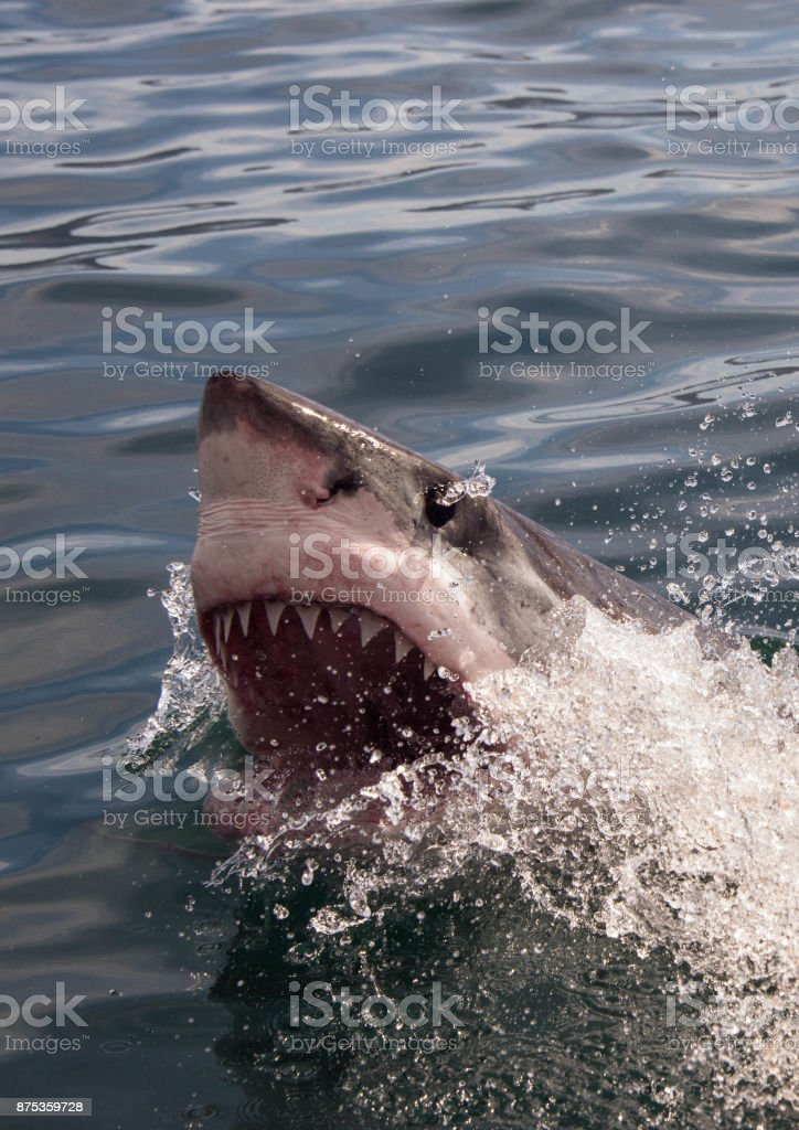 A great white shark gapes when it breaks the ocean surface at Gansbaai South Africa stock photo