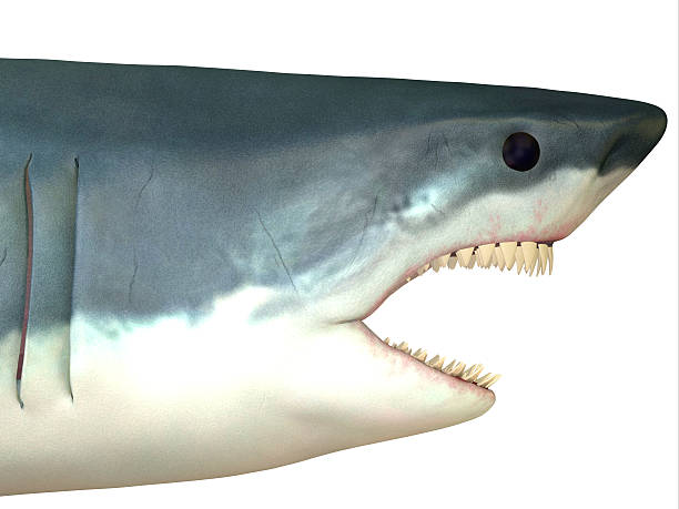 Great White Shark Head stock photo