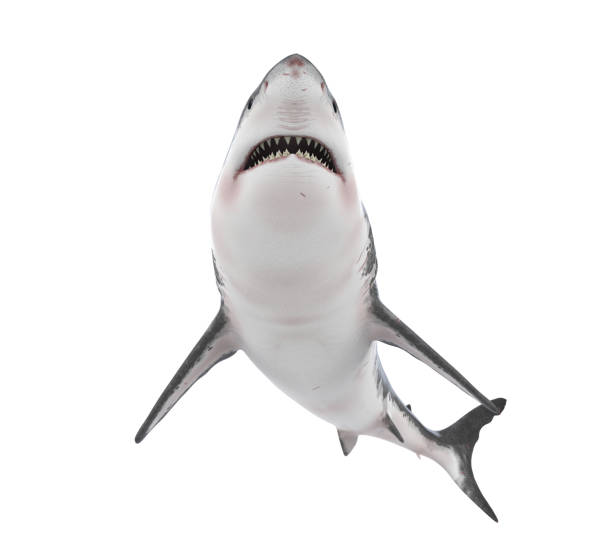 Great White Shark Isolated Great White Shark isolated on white background. 3D render animal teeth stock pictures, royalty-free photos & images