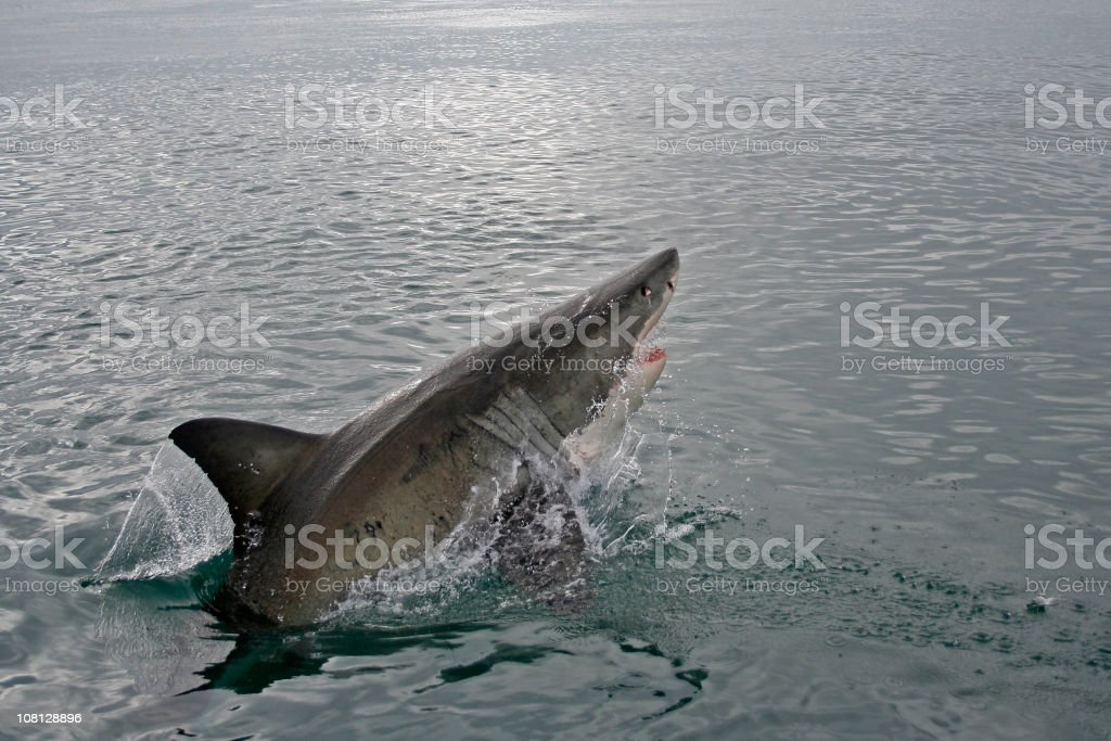 Great White Shark Jumping Out Of Water Stock Photo - Download Image