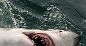Great white shark (Carcharodon carcharias) swimming on ocean surface, South Africa