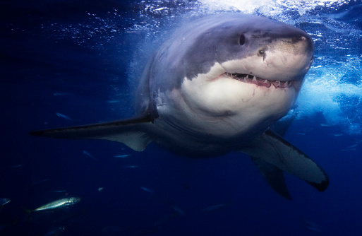 Great White Shark Stock Photo - Download Image Now