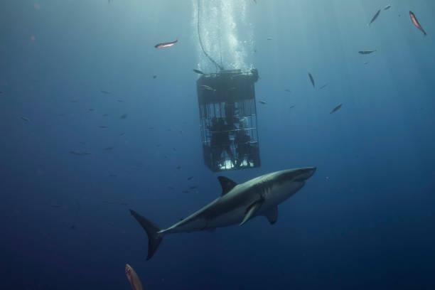 grote witte haai - kooi stockfoto's en -beelden
