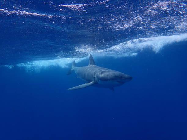 great white shark - convenzione sulla diversità biologica foto e immagini stock