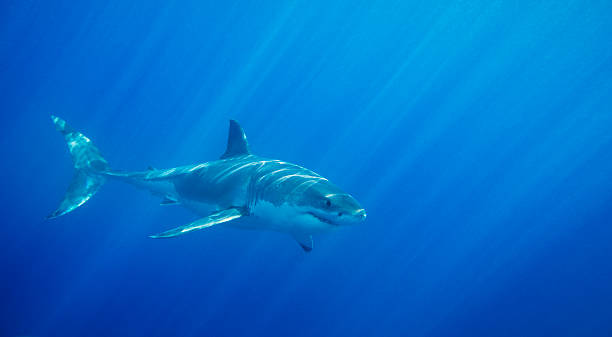 Great White Shark  dorsal fin stock pictures, royalty-free photos & images