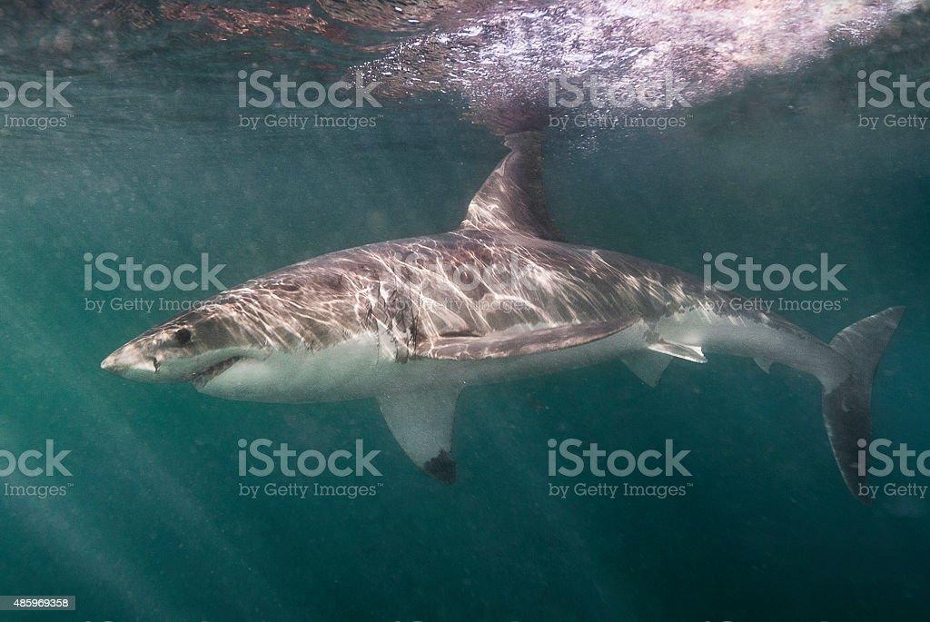 Great White Shark stock photo